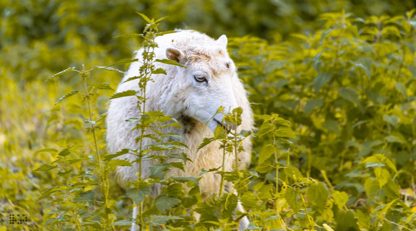 Ein Schaf in einer Wiese.